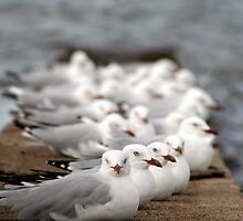 Seagulls at Wynnum by John Hansen
