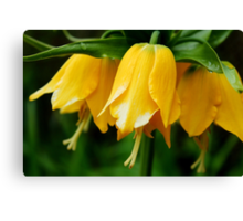 Yellow Crown Imperial Canvas Print