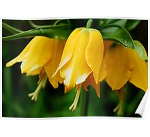 Yellow Crown Imperial Poster