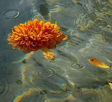 Liquid Rainbows – Floating Chrysanthemum Blossom in the Sunshine by Georgia Mizuleva