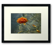 Liquid Rainbows – Floating Chrysanthemum Blossom in the Sunshine Framed Print