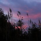 Grasses at Sunrise by Lynn Gedeon
