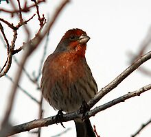 Male House Finch by Ryan Houston