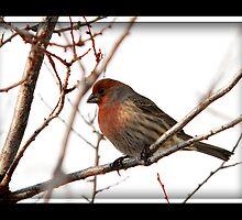 Male House Finch Winter by Ryan Houston