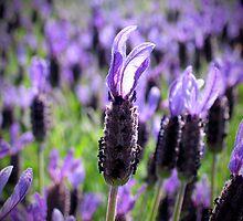 Lavender by Kristian Lam
