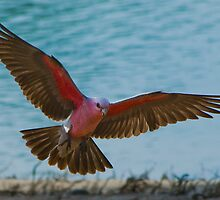 Galah, Rapid Creek, NT by Keith McGuinness