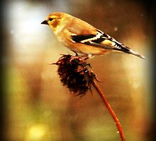 American Goldfinch by Ryan Houston