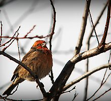 Male House Finch Perched by Ryan Houston