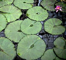 Water Lily by rogerjporter