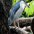 Night Heron Australia by Sandra  Sengstock-Miller