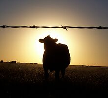 Cow at Sunset by amandameans