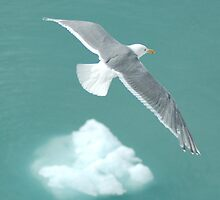 Glacier Gull by Blair Akers