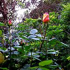 Hot pink Rose Buds by Sarah  Levinson