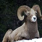 Winter Ram by Tiffany Vest