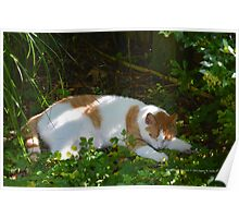 Orange And White Cat Sleeping In The Summer Shade | Middle Island, New York  Poster