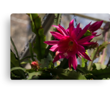 Vivacious Christmas Cactus Bloom Canvas Print