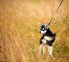 Slater - The Alaskan Klee Kai by amieanderson