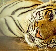 Tiger by AdventureAnne