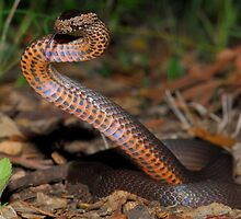 Golden-crowned snake by Stewart Macdonald