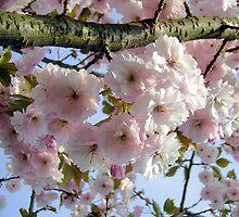 Cherry Blossom Branch by Mibby