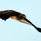 Soaring Redtail Hawk by Ryan Houston