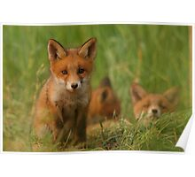 Red fox puppies Poster