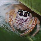 Jumping spider by David  Hall