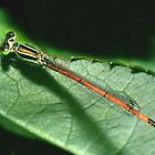 damselfly by wildrider58