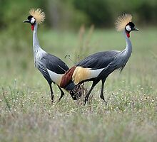 Crested Cranes by UniqueImages
