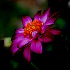 Floating Dahlia by danaatlee