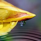 Allamanda Tears by Lesley Smitheringale