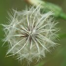Dandelion by Grahame Clark