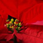 Poinsettia: Official December Flower by Poete100