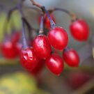 Red Berries 10 by marybedy