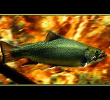 Brook Trout by Ryan Houston