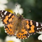 painted lady butterfly by wildrider58