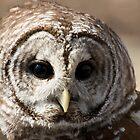 Beautiful Barred Owl by Vincent Vartorella