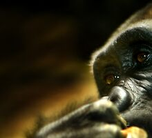 Gorilla by doorfrontphotos