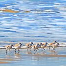 We&#x27;re following the leader... Sandpipers in Goleta Beach California by Eyal Nahmias