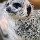Meerkat by Clinton Barnes