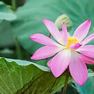 Water Lily by Candice84