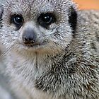 Meerkat 2 by Clinton Barnes