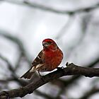 House Finch by James Even