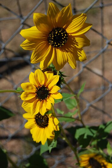 Sun Flower Patch by Aris