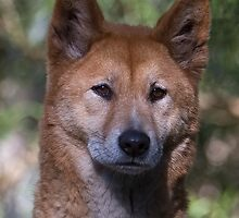 Alpine Dingo (Male) by Barrie Collins