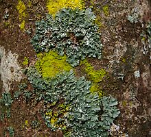 Lichen Covered Bark by Syman  Kaye