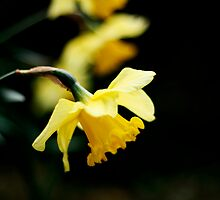 Daffodils by Victoria Fordham