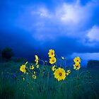 Yellow Flowers Blue Sky  by Syman  Kaye