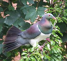 Kereru by Paul Martin