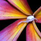 Crab Spider on Frangipani (2) by Frank Yuwono